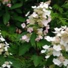 Гортензия метельчатая пинк леди посадка и уход в открытом грунте