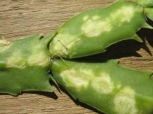 Epiphyllum Orchid Cactus : The Advanced Care Guide 32
