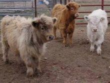 Как называется маленькая корова