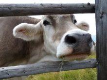 Монбельярдская порода коров характеристика