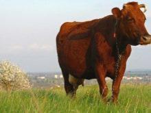 Сколько корова дает молока нормы и рекорды