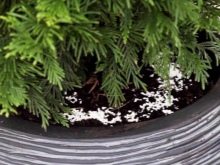 Можно ли выращивать можжевельник в домашних условиях?