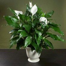 Цветок антуриум и спатифиллум 170