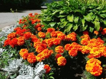 фото оранжевые клумбе цветы на