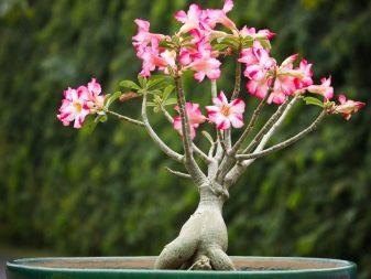 Адениум из семян в домашних условиях: как посеять и вырастить, фото