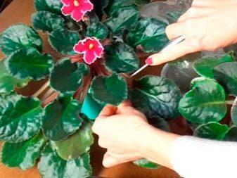 Размножение фиалки из листа (29 фото): как размножить сенполию листом в домашних условиях пошагово? Как посадить и укоренить лист?