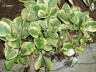 Пеперомия – посадка цветка, уход и размножение в домашних условиях