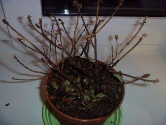 Азалия сохнут и опадают листья что делать