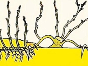 Как ухаживать за золотым усом в домашних условиях. Выращивание растения золотой ус в домашних условиях