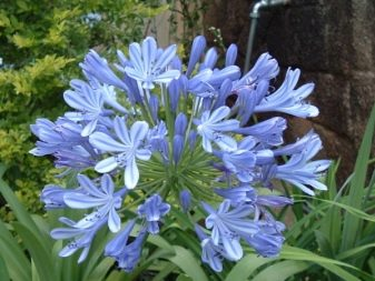 Lily of the Nile (Agapanthus Plant): Brilliant Grow & Care Tips 10