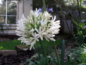 Lily of the Nile (Agapanthus Plant): Brilliant Grow & Care Tips 11