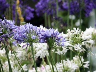 Lily of the Nile (Agapanthus Plant): Brilliant Grow & Care Tips 14