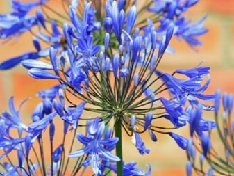 Lily of the Nile (Agapanthus Plant): Brilliant Grow & Care Tips 15