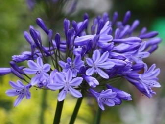 Lily of the Nile (Agapanthus Plant): Brilliant Grow & Care Tips 3
