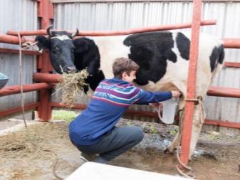 Антибрык и другие средства для доения коров. Размеры антибрыка для коров и как сделать своими руками, приучение к доению