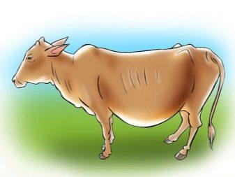 Как определить, сколько длится и как протекает беременность у коров? На что обратить внимание