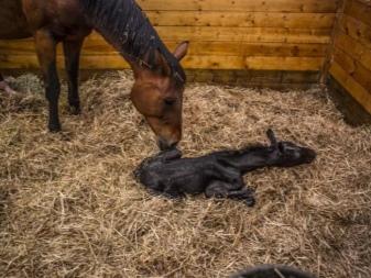 Продолжительность беременности кобыл