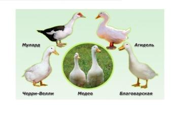 Популярные породы бройлерных уток и особенности их выращивания