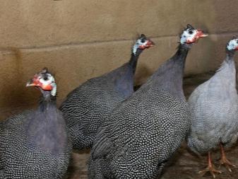 Цесарка (гвинейская курица): всё, что вам нужно о ней знать. Полное руководство по уходу.