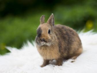 Кролики декоративные породы фото с названиями