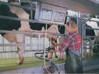 Принцип работы доильного аппарата для коров: их преимущества, недостатки и правила использования