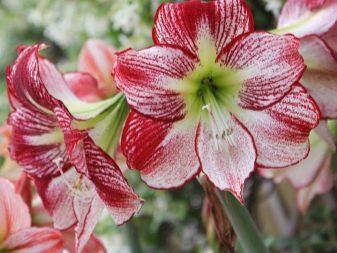 Уход за цветком гиппеаструм