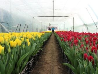 Как размножить тюльпаны луковицами