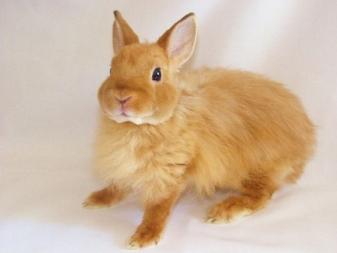 Львиноголовый кролик: уход и содержание породы