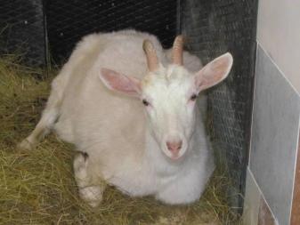 Окот козы (34 фото): что нужно знать о родах? Чем кормить козу после окота? Что делать, если нет молока? Как раздоить?