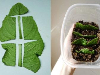 Выращивание стрептокарпусов из листа