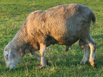 Лучшие породы баранов