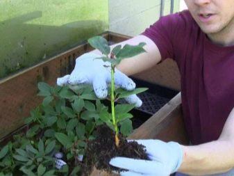 Рододендрон адамса посадка и уход в открытом грунте в подмосковье