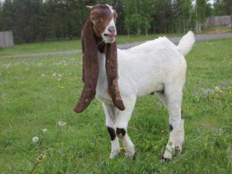 Камори козы описание породы