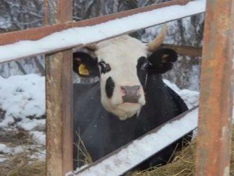 Ярославская порода коров видео
