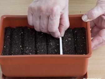 Как вырастить тую из семян в домашних условиях