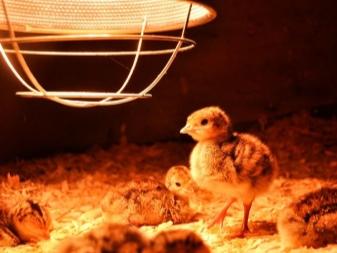 Температура содержания месячных цыплят