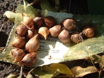 Ирисы луковичные посадка и уход в открытом грунте осенью
