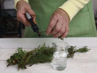 Как размножить можжевельник в домашних условиях