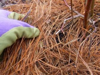 Сосна горная мопс посадка и уход в открытом грунте