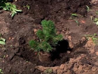 Сосна горная пумилио посадка и уход в открытом грунте