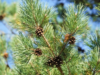 Корневая система сосны: особенности, выращивание дерева