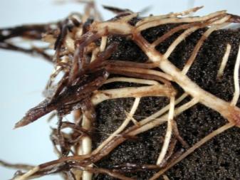 Чистец шерстистый посадка и уход в открытом грунте