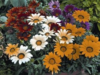 газания цветок выращивание в открытом грунте