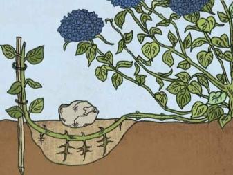 Гортензия метельчатая киушу посадка и уход в открытом грунте