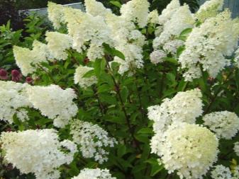 Гортензия фантом садовая посадка и уход в открытом грунте