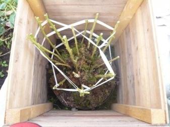 Гортензия метельчатая сандей фрайз посадка и уход в открытом грунте