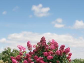 Гортензия садовая вимс ред посадка и уход в открытом грунте