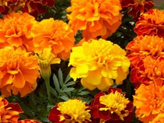 Хризантемы низкорослые карликовые многолетние посадка и уход кустовые