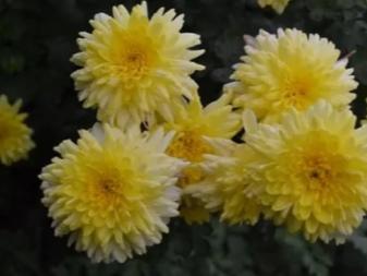 Хризантемы посадка и уход в открытом грунте зимовка