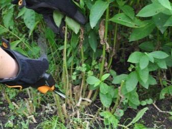 Флокс посадка и уход в открытом грунте на урале